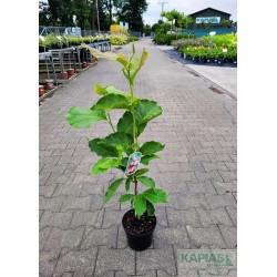 Magnolia soulangeana x 'Lennei'