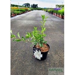 Exochorda racemosa 'Niagara' PBR