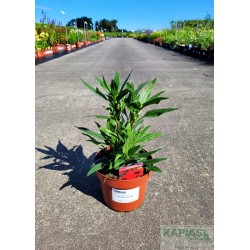 Echinacea 'Kismet® Red' PBR