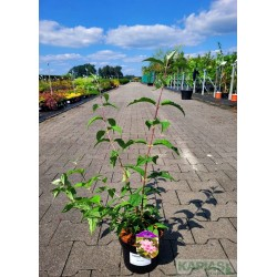 Deutzia hybrida x 'Mont Rose'