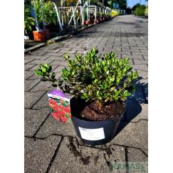 Azalea japonica 'Estrella'