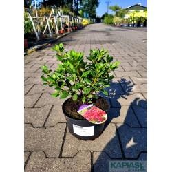 Azalea japonica 'Tornella'
