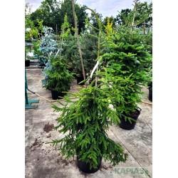 Picea orientalis 'Aureospicata'
